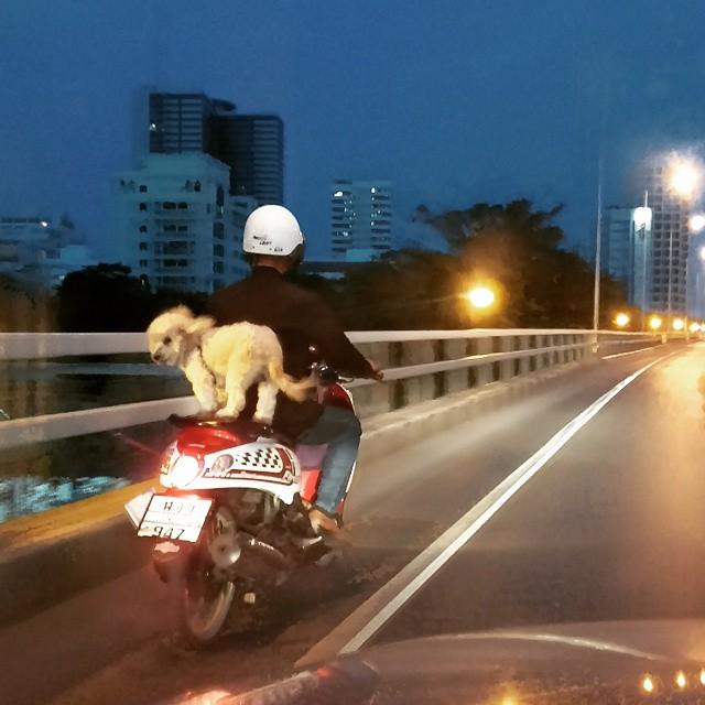 Dog on Back Seat