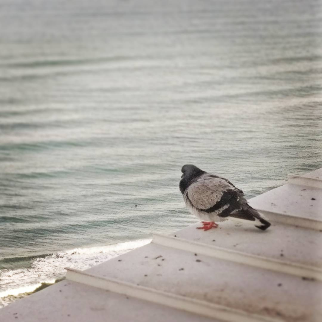 Pigeon by Sea