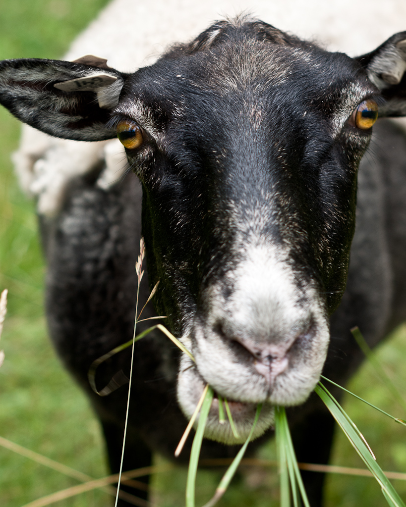 Sheep 641
